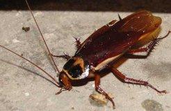 世界上现存最古老的昆虫,蟑螂已存在3亿年