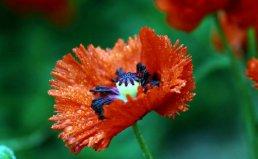 世界上最诡异的植物,鬼罂粟看似可怕