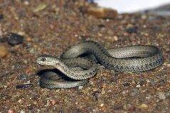 世上生存海拔最高的蛇,西藏温泉蛇