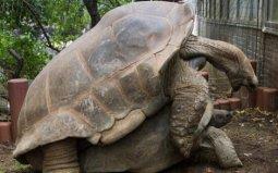 世界上最大的陆生乌龟,象龟重达375公斤
