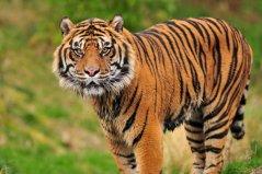 世界上现存最小的老虎,苏门答腊虎实至名归