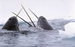 世界上牙齿最长的动物,独角鲸牙齿可达到三米