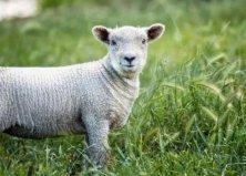世界上最小的羊品种:尼日利亚矮脚羊