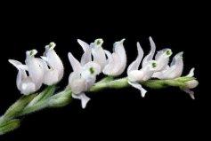 世界上最小的种子 斑叶兰种子(只有0.3-0.4mm)