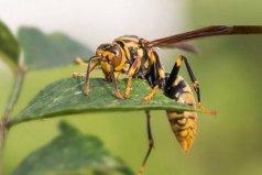 世界上最毒的十种昆虫,杀人蜂排第一名