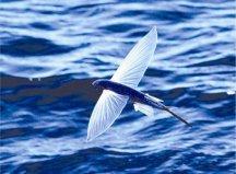世界上飞得最远的鱼,飞鱼能飞400多米远