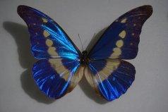 世界上最美丽的蝴蝶 海伦娜闪蝶标本能换辆车