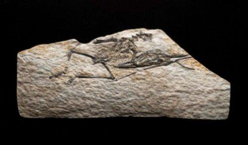 世界上最小恐龙,森林翼龙体长约9厘米