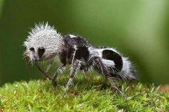 世界上最奇特的蚂蚁,其剧毒可杀死一头牛