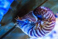 世界上最古老的海螺,鹦鹉螺被誉为活化石