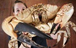 世界上最重的螃蟹,澳洲皇帝蟹重达72斤