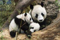 全球最难租到熊猫的国家 南非申请20年仍被拒绝