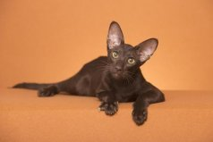 世界上耳朵最大的猫,东方短毛猫上榜单