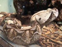 世界上毒牙最长的蛇,加蓬蝰蛇毒牙长达5cm