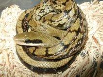 世界上最温顺的蛇,黑眉锦蛇体长可达2米