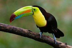 世界上嘴巴最大的鸟,巨嘴鸟嘴巴可达20厘米