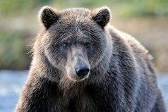 世界上体型最大的熊类,灰熊体重可达700千克