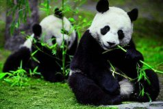 """世界上最小的熊猫,""""五一""""出生体重仅51克"""