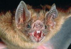 世界上最可怕的蝙蝠,菊头蝠乃多种病毒的宿主