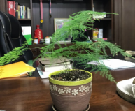 世界上叶子最小的树,文竹叶子要用放大镜看