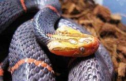 世界上最罕见的毒蛇:喜玛拉雅白头蛇