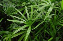 十大净化空气的室内植物排名,棕竹上榜