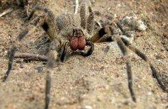 世界十大最恐怖毒蜘蛛,中国捕鸟蛛上榜单