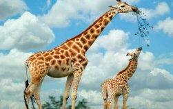 世界上最大最高的长颈鹿,身高达5.8米