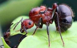 世界上最危险的九种蚂蚁,看见了赶紧跑!