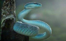 世界上最罕见最珍稀的蛇 蓝血蛇售价高达350万
