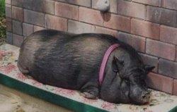 世界上寿命最长的猪,宠物猪活了23岁
