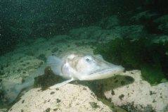 世界最抗冻的一种鱼,鳄冰鱼能够在南极生存
