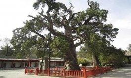 中国现存最古老的树排名 黄帝轩辕柏至少5千岁
