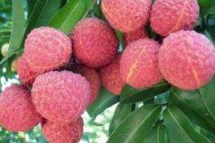 中国南方十大名贵水果,增城荔枝位居第一