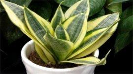 十大能吸甲醛的植物排行榜,虎尾兰排在第一名