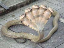 世界上最怪异的十种蛇,印度五头蛇有五个脑袋