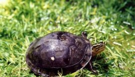 世界上最珍贵的龟,当属云南闭壳龟