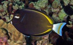 世界上色彩最艳丽的观赏鱼:白面刺尾鱼