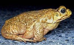 世界上最大的蟾蜍,海蟾蜍含有剧毒