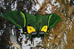 世界上最值钱蝴蝶,金斑喙凤蝶极其稀有