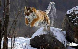 世界上最凶猛的猫科动物,西伯利亚虎排第一
