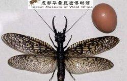 世界上最大的水生昆虫,越中巨齿蛉体长15CM