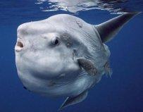 世界上产卵最多的鱼,翻车鱼一次产卵3亿粒