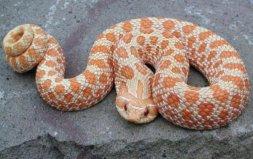 世界上最怂的蛇,猪鼻蛇会装怂装死