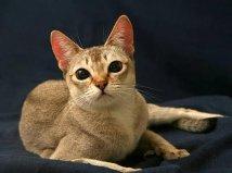 世界上最小的猫,新加坡猫体重不足2公斤