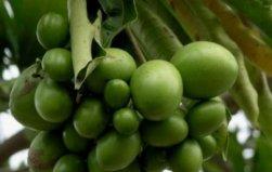 世界上最毒的水果,海檬树果误食立即毙命