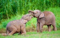 世界上最小的大象,侏儒象身高平均2.1米