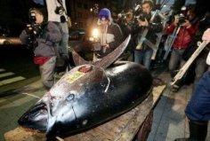 世界上最大的金枪鱼,体长2.65米重达834斤