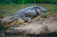 世界上最大最凶残的鳄鱼,湾鳄体长可达7米