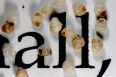 世界上最小的蜗牛,体长只有0.6毫米